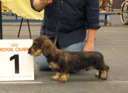 Castelpetroio Intrigo…first time in show! 3BIS Puppies