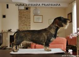 CH Polacco Giovane Oliva  z Dziada Pradziada