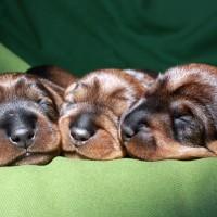 cuccioli a 1 settimana
