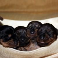 cestinocon  cuccioli